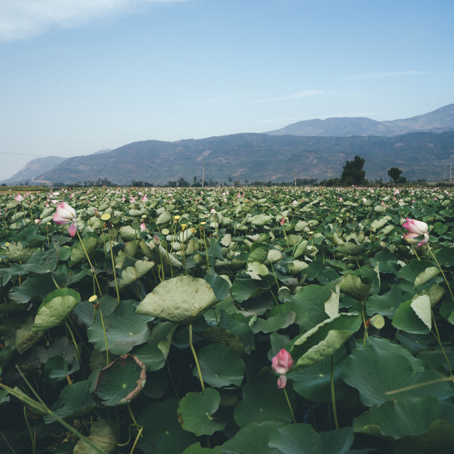"""A HUGE LOTUS SWAMP"" stock image"
