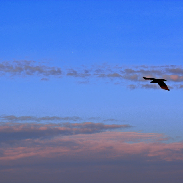 """Seagull in Flight and Pink Clouds"" stock image"