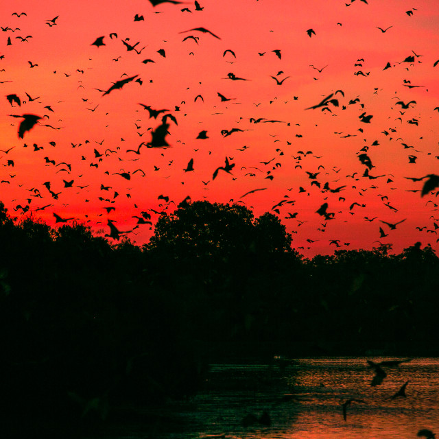 """""""First fly of the evening for those Bat."""" stock image"""