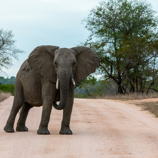 """Single African elephant bull walking in a road"" stock image"