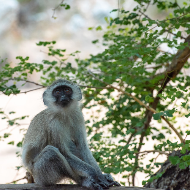"""A young and curious African Vervet Monkey"" stock image"