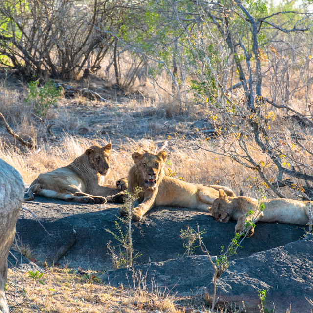 """African lion herd resting after eating their kill"" stock image"