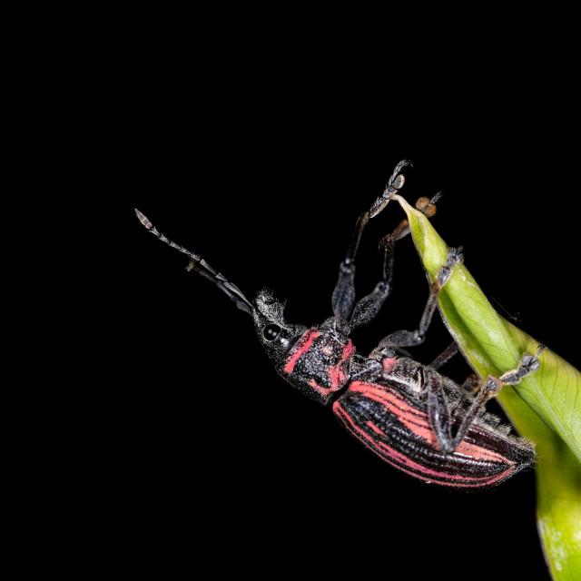 """The whitefringed beetle (Naupactus genus)"" stock image"