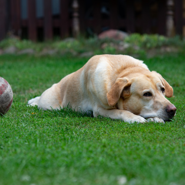 """""""old Labrador dog on the grass with ball toy"""" stock image"""