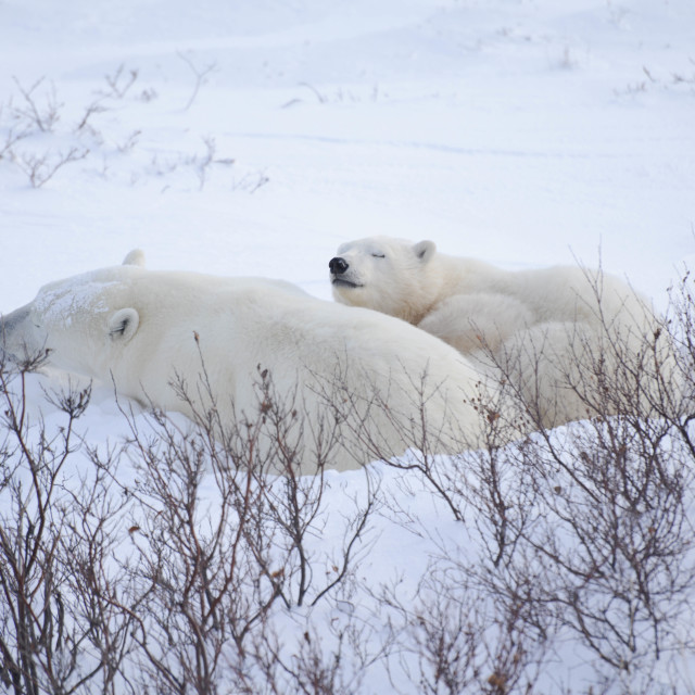"""polar bears asleep"" stock image"