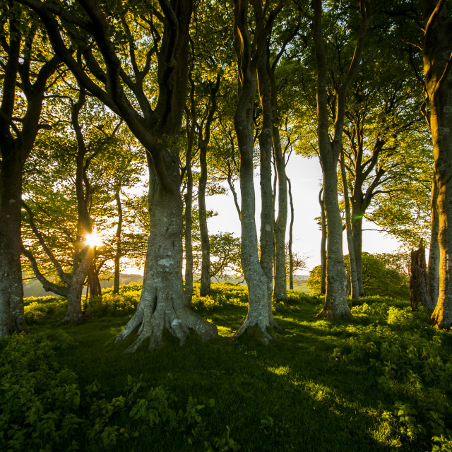 """Close up of beech trees on Gerrard's Hill, near Beminster, Dorset"" stock image"