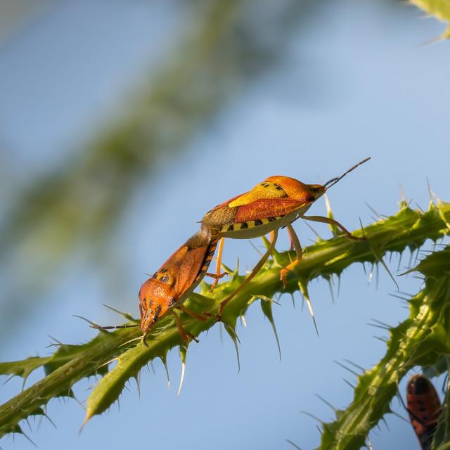 """Shield bugs mating - Carpocoris pudicus"" stock image"