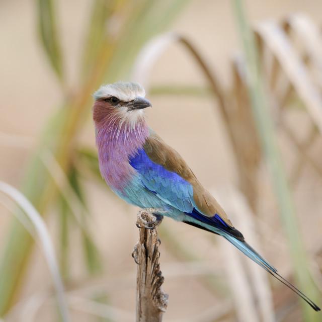 """Lilac-breasted Roller, Coracias caudatus,"" stock image"