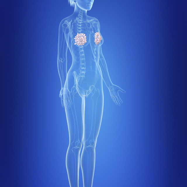 """""""Illustration of a woman's mammary glands"""" stock image"""