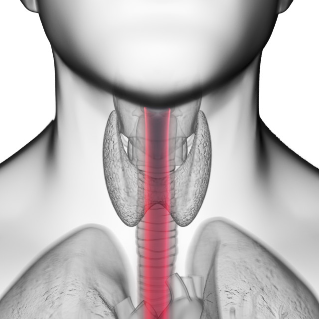 """""""Illustration of a man's oesophagus"""" stock image"""
