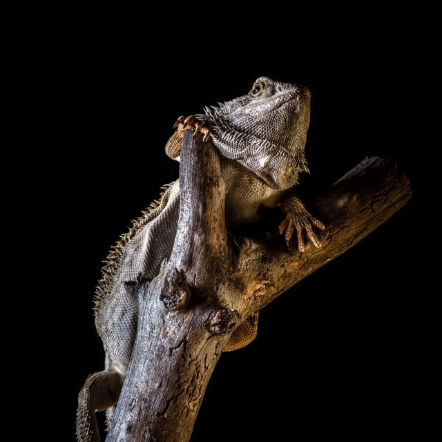 """""""Bearded dragon on piece of dry wood on black background"""" stock image"""