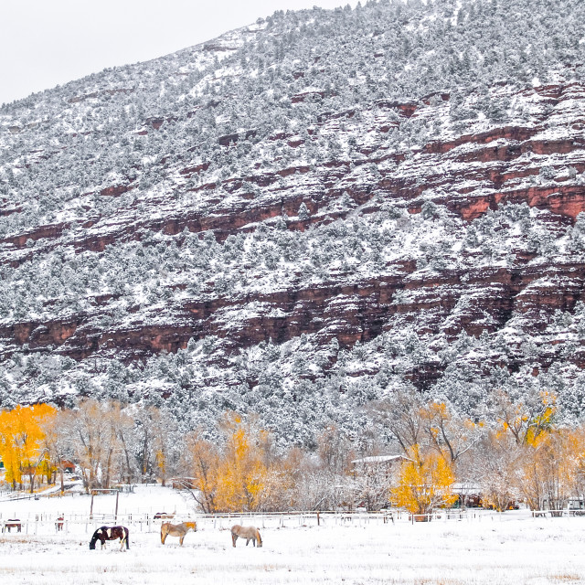 """Horses in Colorado Snow"" stock image"