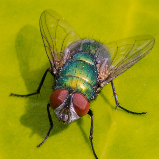 """Close up of a Common Green bottle Fly resting on a green leaf"" stock image"