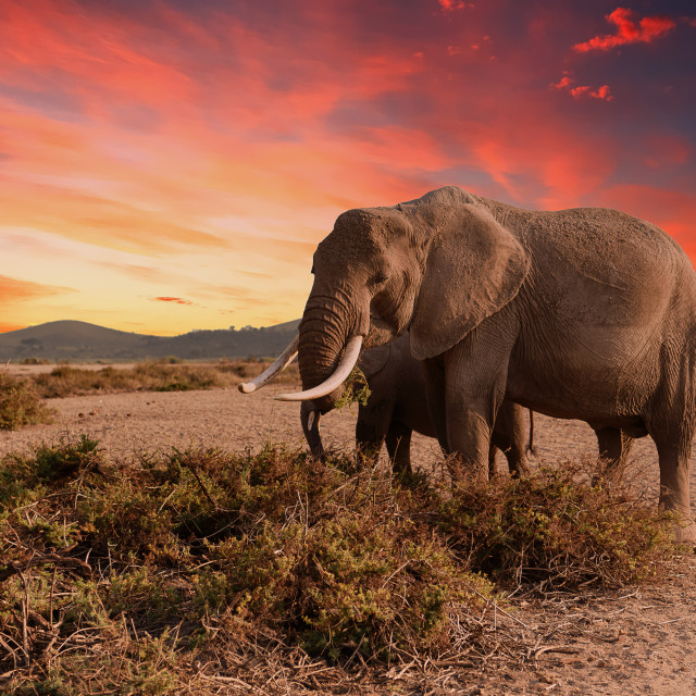 """Elephant feeding at sunrise"" stock image"