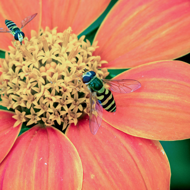 """""""Close up of 2 hover flies collecting nectar on a beautiful red and orange Dahlia Coccinea in the garden"""" stock image"""