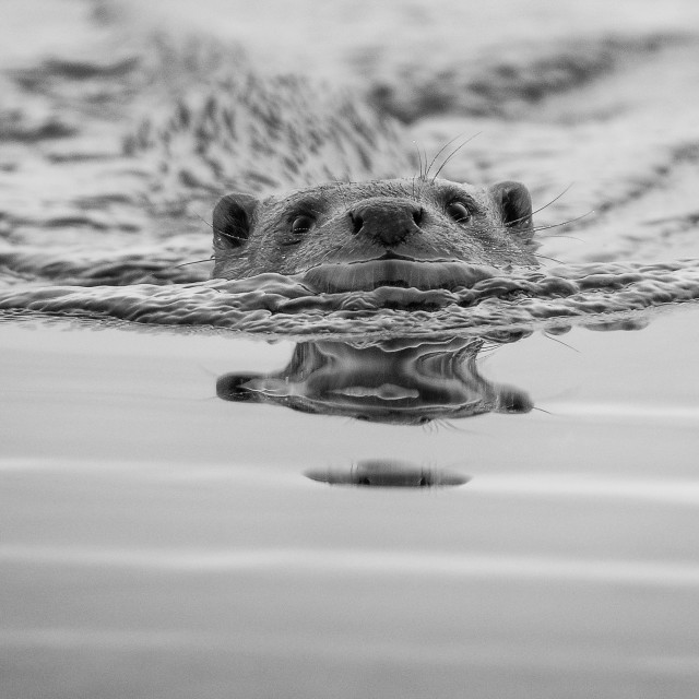 """""""Otter Getting Closer"""" stock image"""