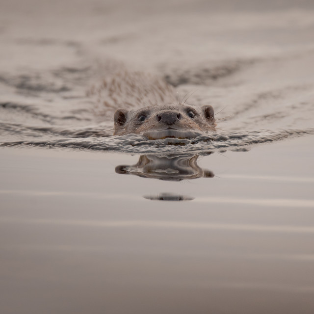 """""""Otter am Coming"""" stock image"""