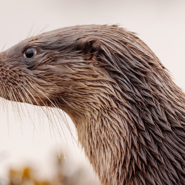 """""""Otter the Other Side"""" stock image"""