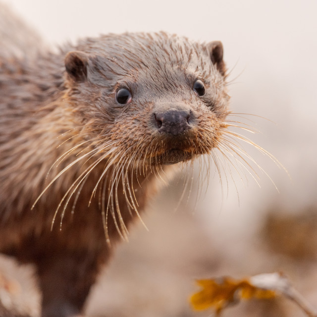 """""""Otter Looking at You"""" stock image"""