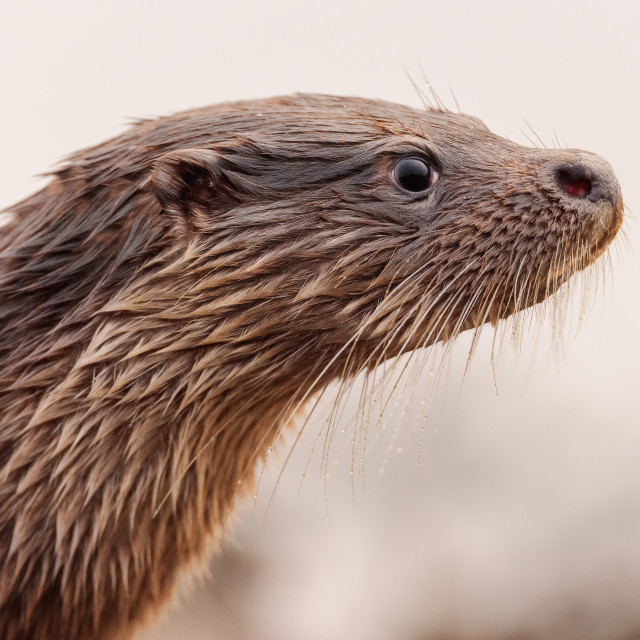 """""""Otter this is my Best Side"""" stock image"""