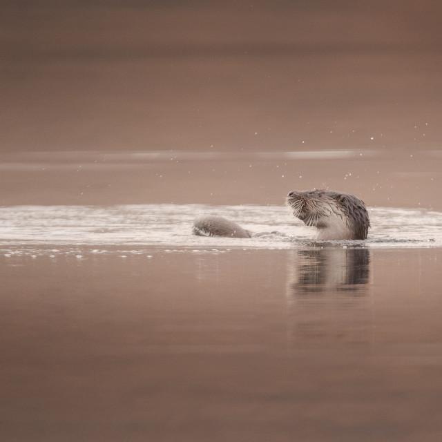 """Otter having a bath"" stock image"