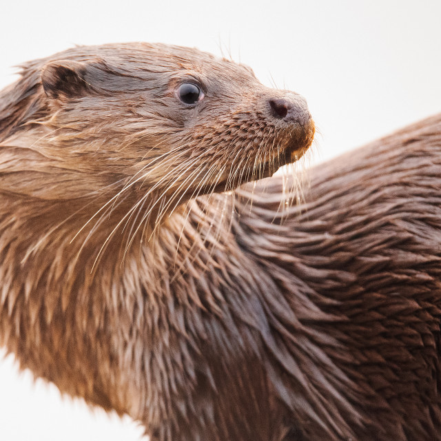 """Otter on the Twist"" stock image"