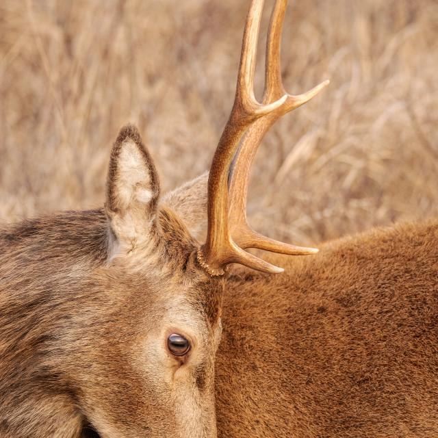 """""""Deer Looking down"""" stock image"""