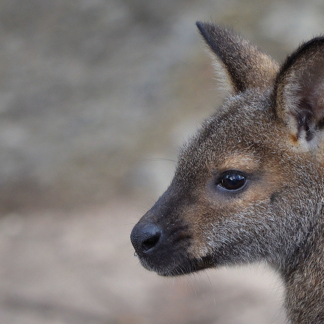"""""""Wallaby"""" stock image"""
