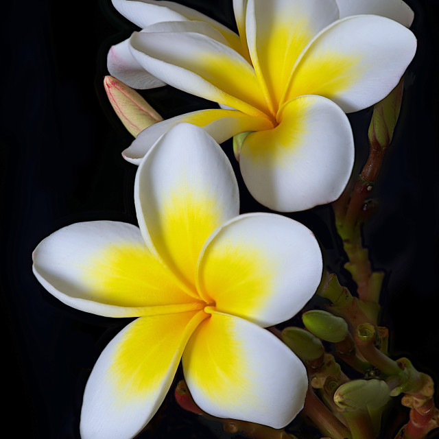 """The fabulous Frangipani"" stock image"