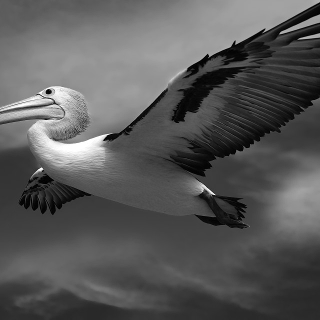 """Beneath the pelican 's wings"" stock image"