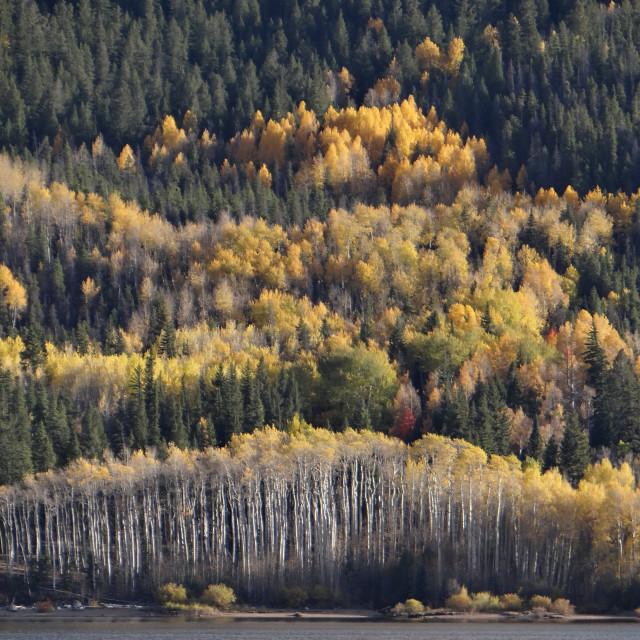 """Colorado Foliage"" stock image"
