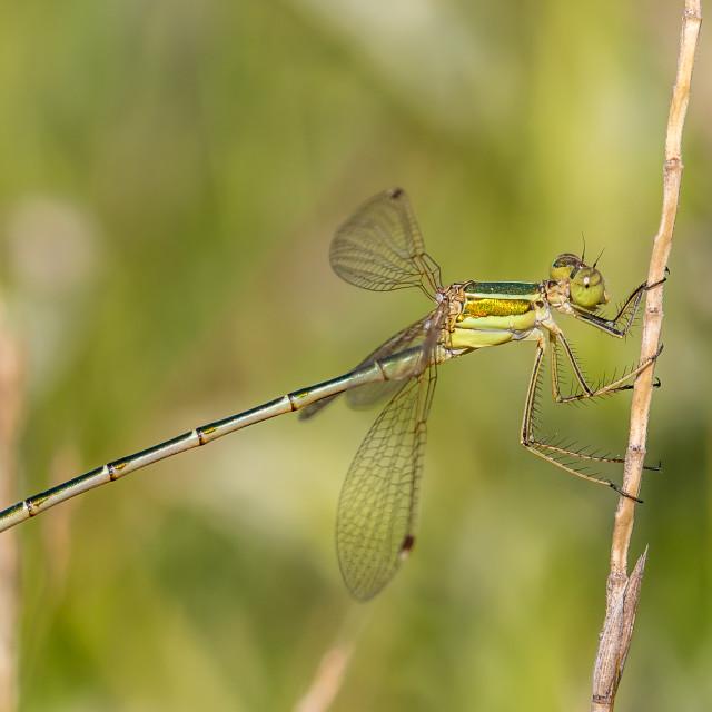 """Shy emerald damselfly - Lestes barbarus"" stock image"