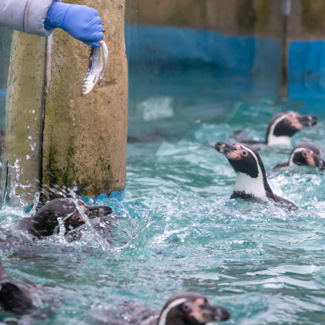 """""""Feeding Penguins at the Zoo"""" stock image"""