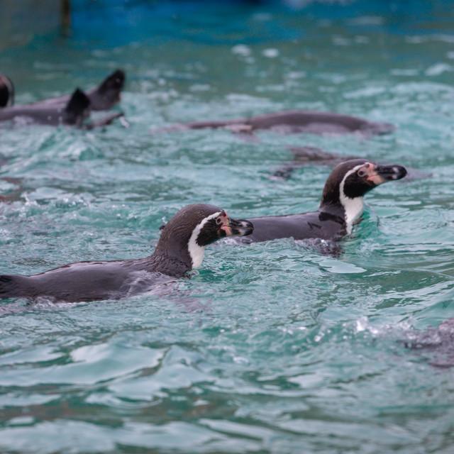 """Penguins swimming"" stock image"