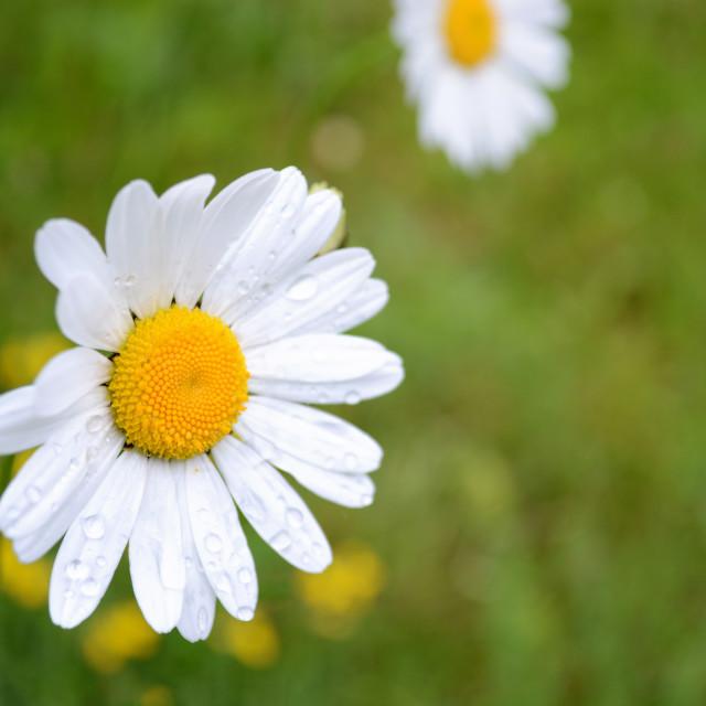 """Daisy - Selective Focus"" stock image"
