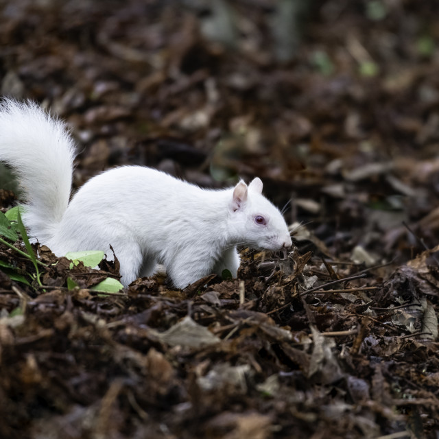 """Albino Grey Squirrel / Albino Gray Squirrel"" stock image"