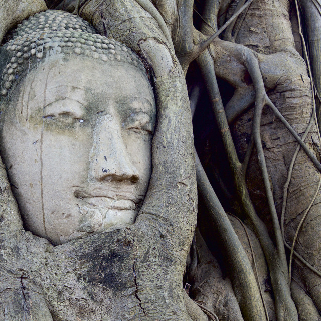 """""""UNESCO world Heritage site - Buddha's head in tree roots, Wat Mahathat,..."""" stock image"""