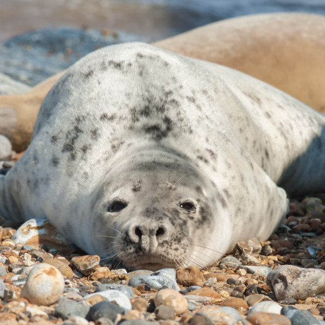 """""""seal basking on a beach"""" stock image"""