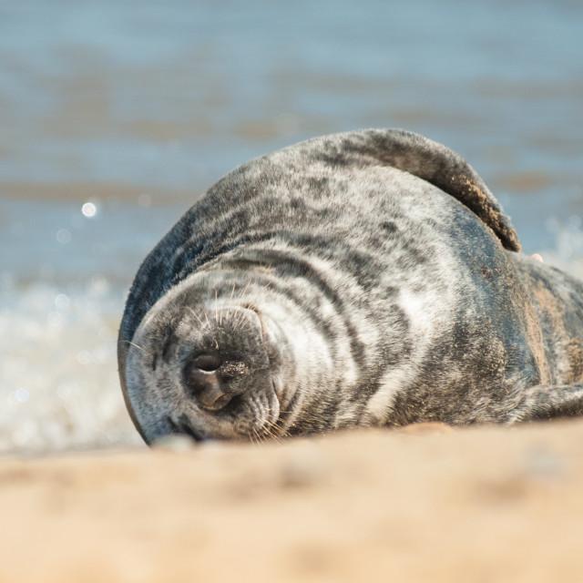 """sleeping seal pup"" stock image"