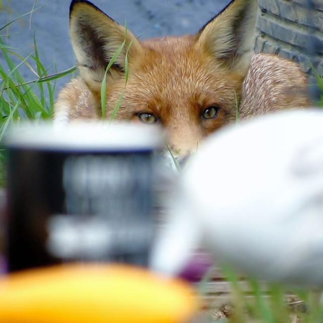 """Sneaky Fox"" stock image"