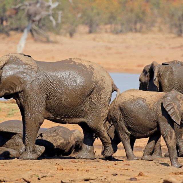 """African elephants at a waterhole"" stock image"