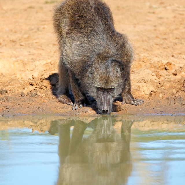 """Chacma baboon drinking water"" stock image"