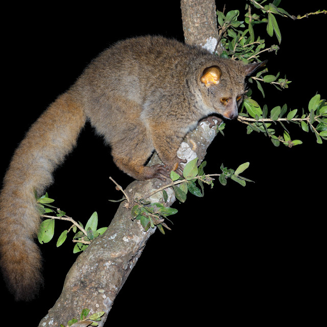 """Greater galago in a tree"" stock image"