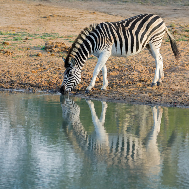 """Plains zebra drinking water"" stock image"