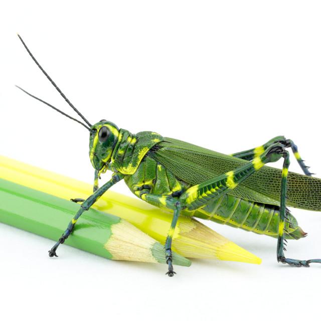 """The Soldier Grasshopper or Little Brazilian Grasshopper (Chromacris speciosa)"" stock image"