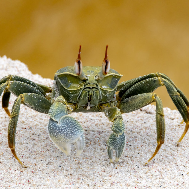 """Ghost crab"" stock image"