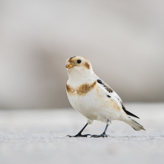 """""""Snow bunting, Plectrophenax nivalis, Southern Spain."""" stock image"""