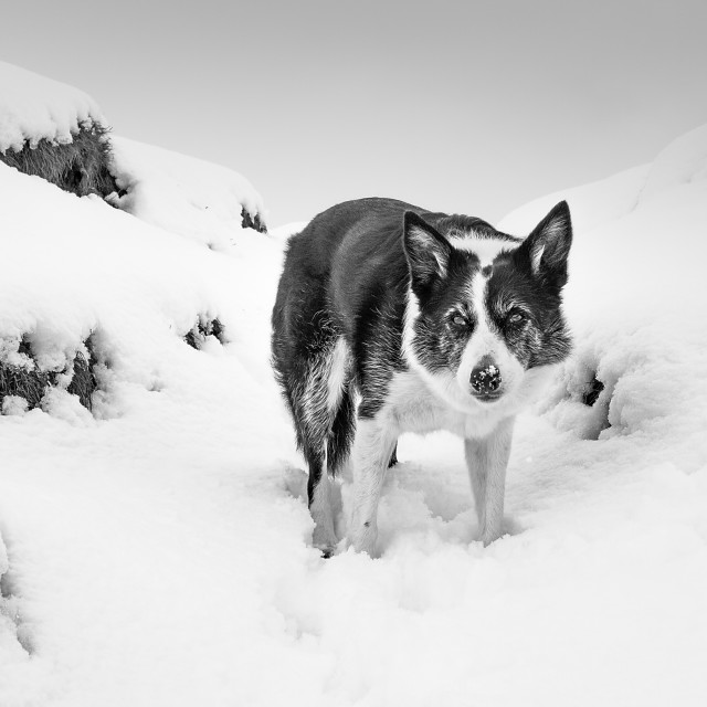 """""""Border Collie in the snow"""" stock image"""