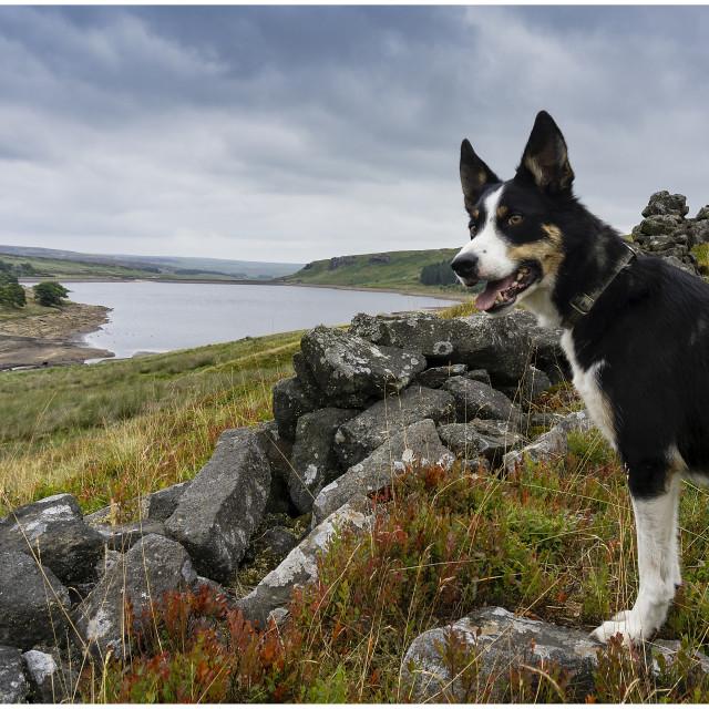 """""""Border Collie at Widdop Reservoir"""" stock image"""