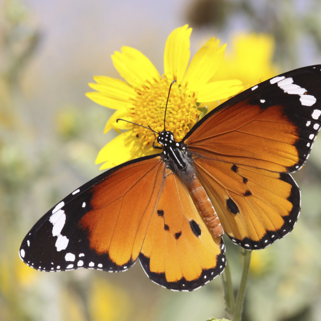 """Plain Tiger AKA African Monarch Butterfly"" stock image"
